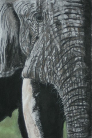A Pastel painting by Beth Gibbeson in the Realist style  depicting Animals with main colour being Grey and titled Trunk Call (elephant)