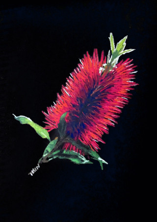 A Pastel painting by Dane Ikin in the Realist style  depicting Flowers with main colour being Black and Red and titled Bottlebrush