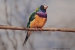 Gouldian Painted Finch (1)