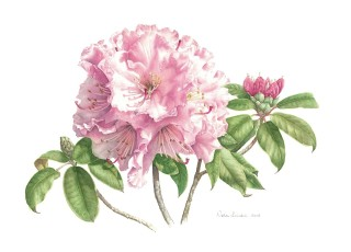 A Watercolour artwork by Nola Sindel in the Realist style  depicting Flowers with main colour being Pink and White and titled Rhododendrons