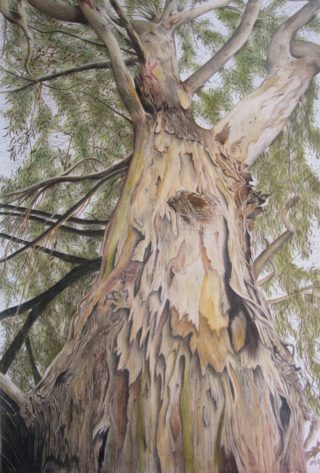 A Coloured Pencils painting by Michelle Ripari in the Realist style  depicting Landscape Bush and Trees with main colour being Cream Grey and Ochre and titled Halls Gap Sentry