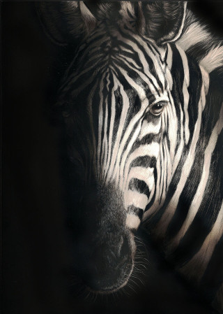 A Scratchboard painting by Rikki Fisher in the Realist style  depicting Animals and Horses with main colour being Black Grey and White and titled In the Spotlight 2