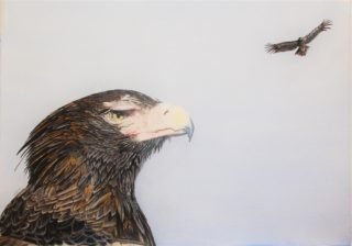 A Coloured Pencils painting by Angela Parr in the Realist style  depicting Animals Birds with main colour being Blue and Brown and titled Aquila Audax