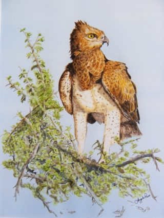 A Watercolour artwork by Angela Parr in the Realist style  depicting Animals Birds and Trees with main colour being Blue Brown and Green and titled Martial Eagle