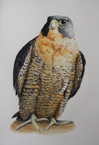 A Watercolour artwork by Angela Parr in the Realist style  depicting Animals and Birds with main colour being Black Brown and Cream and titled Peregrine Falcon