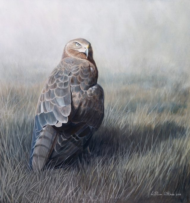Oil Painting by William Ritchie titled Australasian Harrier