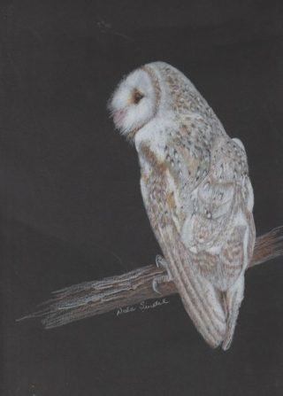 A Watercolour artwork by Nola Sindel in the Realist style  depicting Animals Birds with main colour being Grey and titled Barn Owl