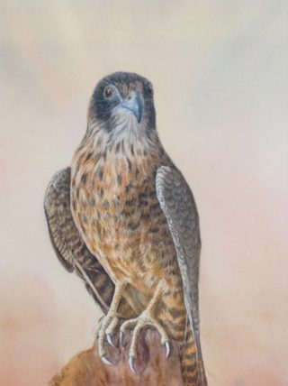 A Watercolour artwork by Nola Sindel in the Realist style  depicting Animals Birds with main colour being Blue Cream and Grey and titled Australian Hobby