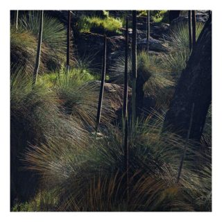 A  photograph by Philip Bell depicting Landscape with main colour being Brown and titled Grass Trees VI
