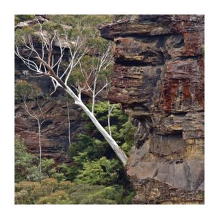 A  photograph by Philip Bell and titled White Gum IV