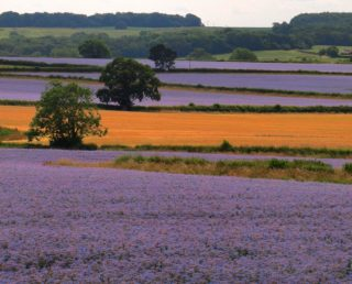 A  photograph by Philip Bell depicting Landscape Farmland with main colour being Olive Orange and Purple and titled Henley Lupins 3