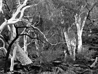 A  photograph by Philip Bell depicting Landscape Trees with main colour being Grey and titled Canyon Gums