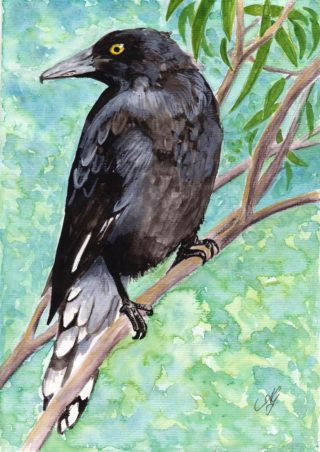 A Watercolour painting by Anne Gardner in the Realist Impressionist style  depicting Animals Birds and Garden with main colour being Black and Blue and titled Currawong