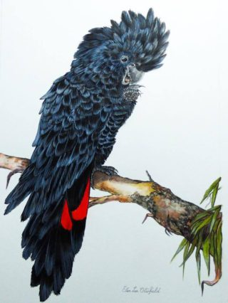 A Watercolour artwork by Ellen Lee Osterfield in the Realist style  depicting Animals Birds with main colour being Black Red and White and titled Red tailed black cockatoo