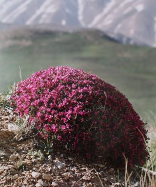 A  photograph by Alireza shirkhani depicting Landscape Flowers and Mountains with main colour being Black Blue and Pink and titled Pearl of Mountain