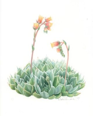 A Watercolour artwork by Nola Sindel in the Realist style  depicting Flowers and titled Succulent Echevera Glauca