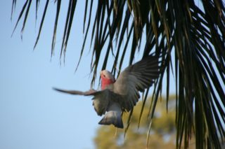 A  photograph by Marion Hughes depicting Animals Birds and titled Galah 1