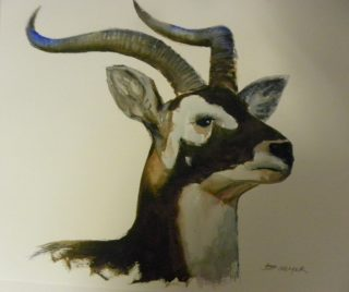 A Watercolour artwork by Jeff Gilmour depicting Animals and titled Black Buck Antelope