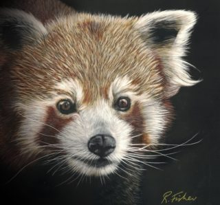 A Scratchboard painting by Rikki Fisher in the Realist style  depicting Animals with main colour being Black Brown and Cream and titled Red Panda Study