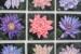 Moyra Le Blanc Smith-11-Nine Mini Waterlilies-OzArt Finder