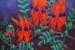 Moyra Le Blanc Smith-12-Sturt's Desert Pea-OzArt Finder