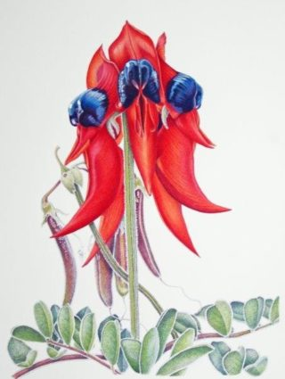 A Coloured Pencils painting by Janet Matthews in the Realist style  depicting Flowers with main colour being Blue Green and Red and titled Sturt Desert Pea