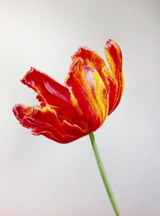 A Watercolour artwork by Nola Sindel in the Realist style  depicting Flowers with main colour being Red and Yellow and titled Bright Parrot Tulip 2