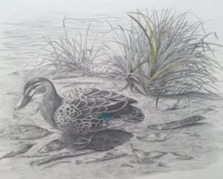 A Pencil painting by Ellen Lee Osterfield in the Realist style  depicting Animals Birds with main colour being Grey and titled Black Duck