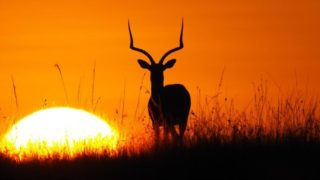 A  photograph by Toula Cassen depicting Animals with main colour being Black and Orange and titled Antelope Sunset