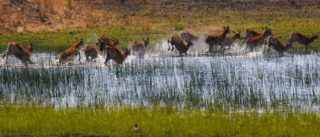 A  photograph by Toula Cassen depicting Animals and titled Impalas Frolicking