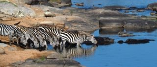 A  photograph by Toula Cassen depicting Animals and titled Zebra Crossing