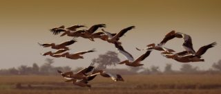 A  photograph by Toula Cassen depicting Animals and titled Flight of the Pelicans