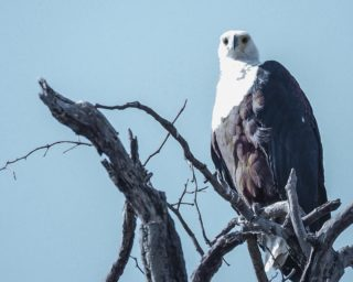 A  photograph by Toula Cassen depicting Animals and titled African Eagle