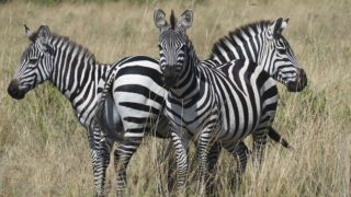 A  photograph by Toula Cassen depicting Animals and titled Three Zebras