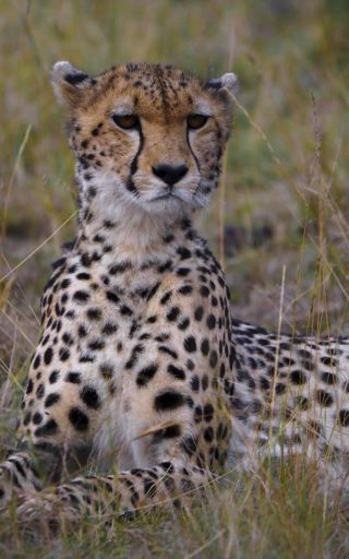 A  photograph by Toula Cassen depicting Animals and titled Strike a pose - Cheetah