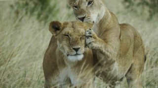 A  photograph by Toula Cassen Animals and titled Lions playing