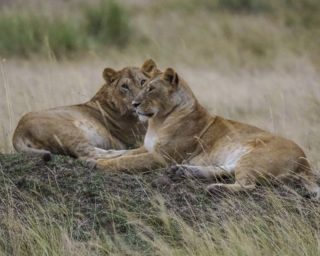 A  photograph by Toula Cassen depicting Animals and titled Lions chilling