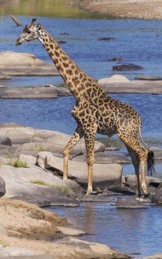 A  photograph by Toula Cassen depicting Animals and titled Giraffe Crossing