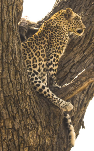 A  photograph by Toula Cassen depicting Animals and titled Leopard protecting its kill