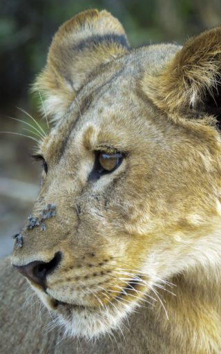 A  photograph by Toula Cassen depicting Animals and titled Baby Lion