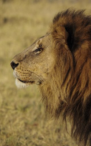 A  photograph by Toula Cassen depicting Animals and titled Adult lion