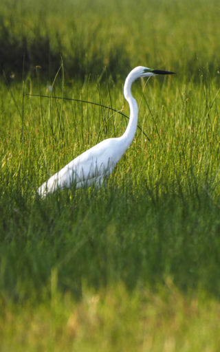 A  photograph by Toula Cassen depicting Animals and titled Heron , Splendour in the grass
