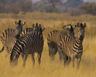 A  photograph by Toula Cassen depicting Animals and titled Zebras in tall grass