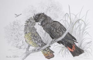A Mixed Media painting by Ellen Lee Osterfield in the Realist style  depicting Birds with main colour being Black Grey and Orange and titled Red Tailed Black Cockatoo Pair