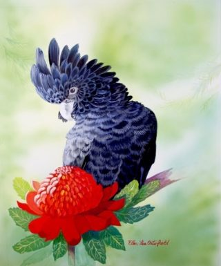 A Watercolour painting by Ellen Lee Osterfield in the Realist style  depicting Birds with main colour being Black Green and Grey and titled Red Waratah and Red Tailed Black Cockatoo