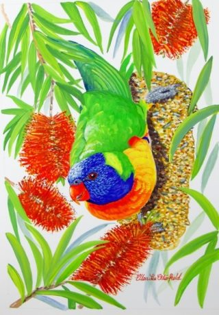 A Watercolour painting by Ellen Lee Osterfield in the Realist style  depicting Birds with main colour being Blue Red and Yellow and titled Rainbow Lorikeet in Bottlebrush