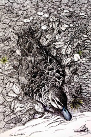 An Ink drawing by Ellen Lee Osterfield in the Realist style  depicting Birds with main colour being Black Grey and White and titled Black Duck