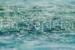 Janis Stapleton-87-White Lily Billabong-OzArt Finder (002)-e4d097eb